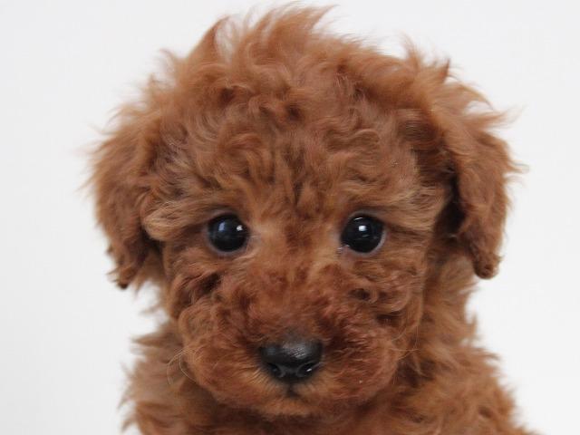 トイプードルの子犬 レッドの男の子