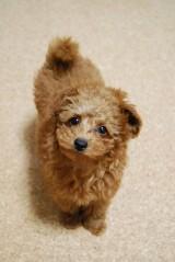 トイプードルの子犬画像