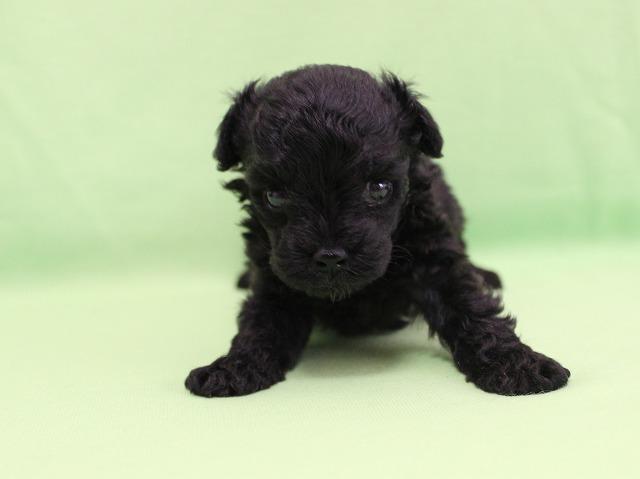 No.625 トイプードルのブラックの男の子 2014年8月11日生まれ