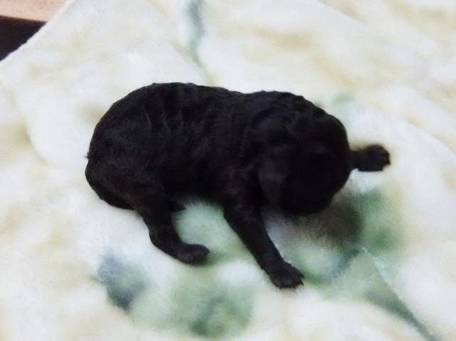 トイプードルの赤ちゃん(ブラウン)