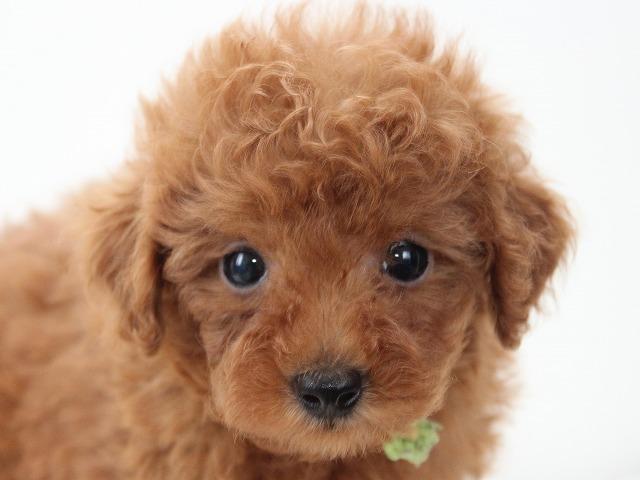 トイプードルの子犬 レッドのオス2