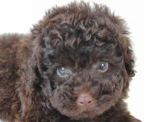 NO.660 トイプードルのブラウンの男の子 2015年6月14日生まれ