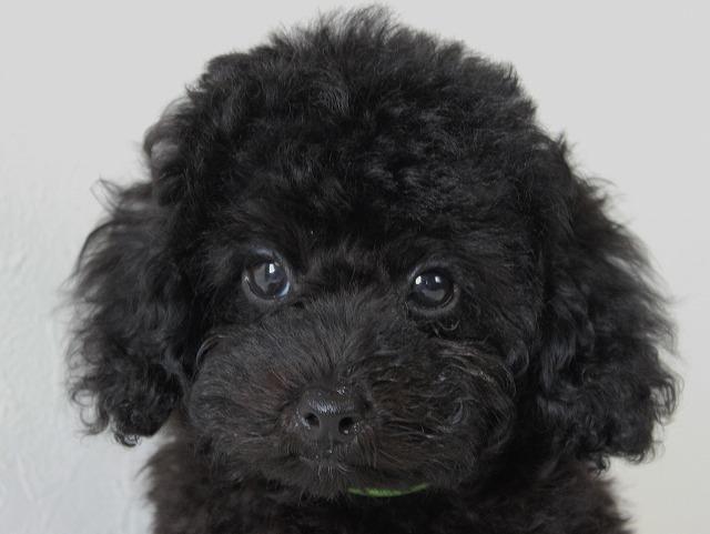NO.654 トイプードルのブラック(黒)の男の子 2015年5月21日生まれ