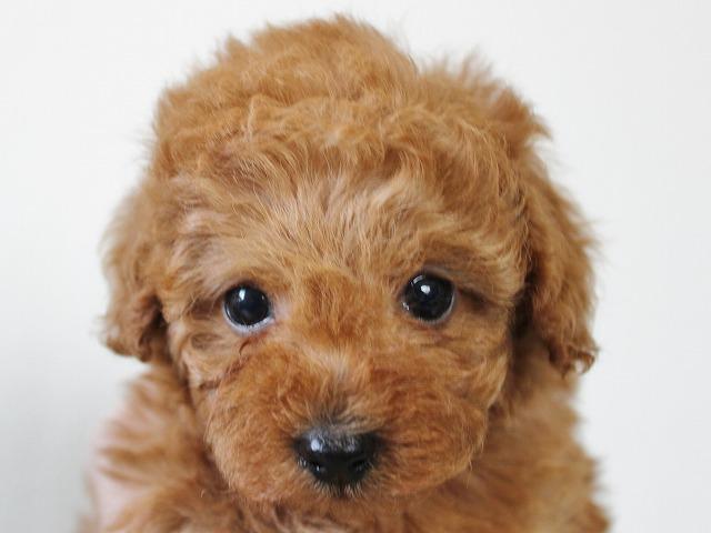 タイニープードルの子犬