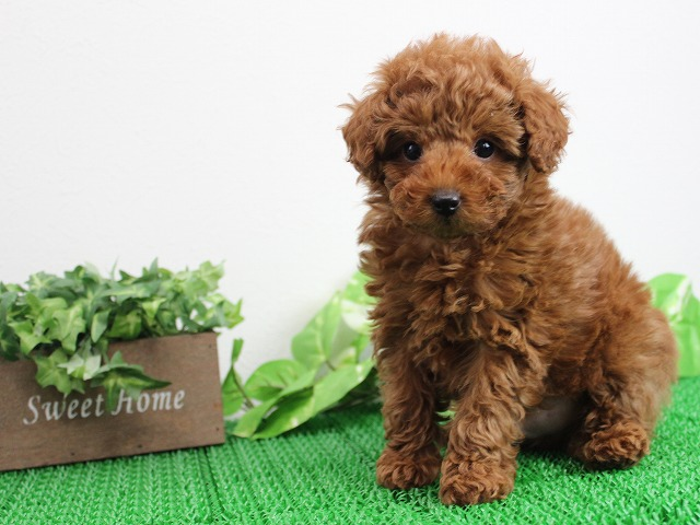 toypoodle1112red2