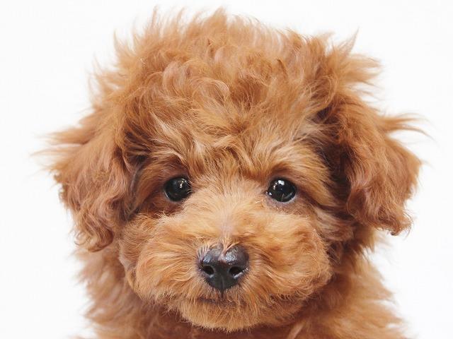 tiny-poodle1212a