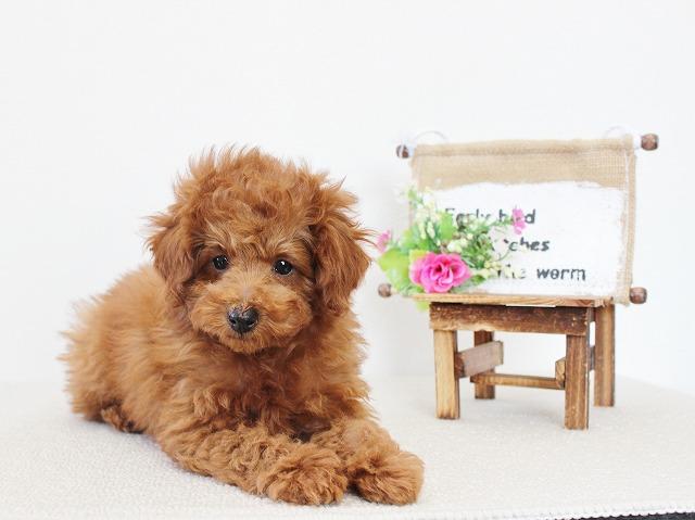 tiny-poodle1212b