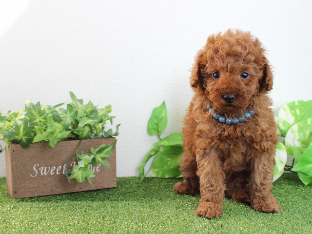 toy-poodle1212b2