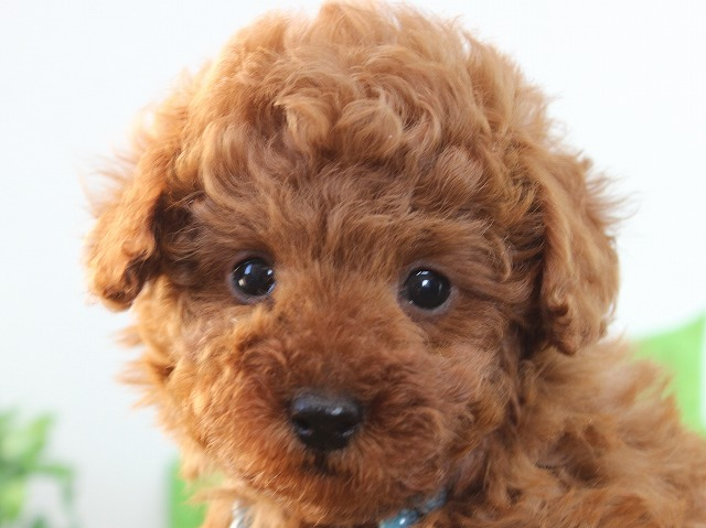 toy-poodle1212B1
