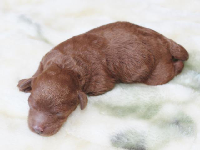 akari_puppy