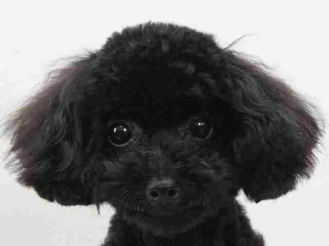 NO.718トイプードルのブラックの男の子(2017年3月5日生まれ)
