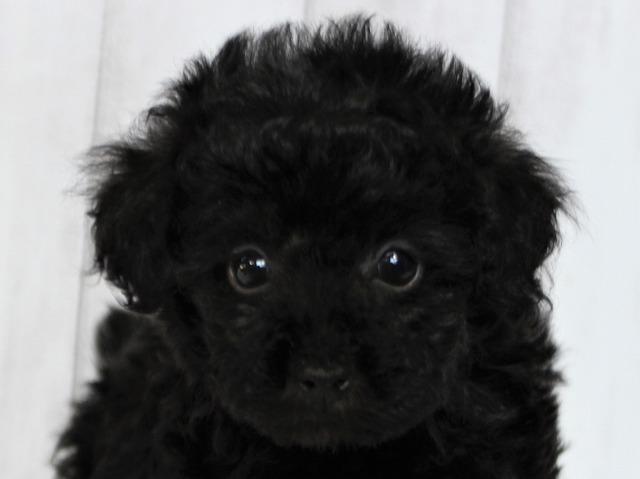 NO.760トイプードルの黒(ブラック)の女の子(2018年12月12日生まれ)