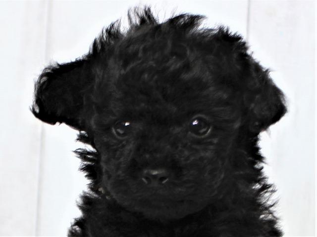 NO.759ティーカッププードルの黒(ブラック)の男の子B(2018年12月12日生まれ)