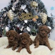トイプードル・ノッコの子犬たち