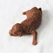 トイプードルのレッドの赤ちゃん