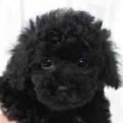 トイプードルのブラックの子犬