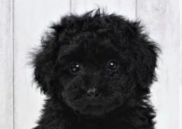 黒プードルの子犬